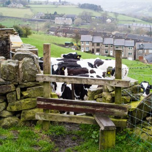 Cows blocking my stile, Slaithwaite!