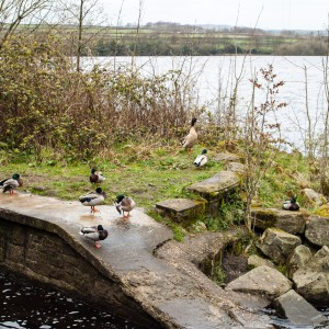 Ducks at Blackmoorfoot Reservoir