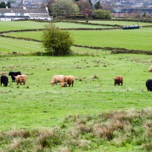 Cows near Helme, West Yorkshire 1