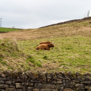 Cows near Helme, West Yorkshire 2