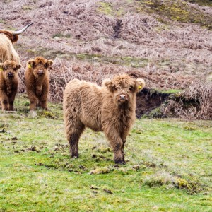 Highland Cattle Calves near Meltham, West Yorkshire