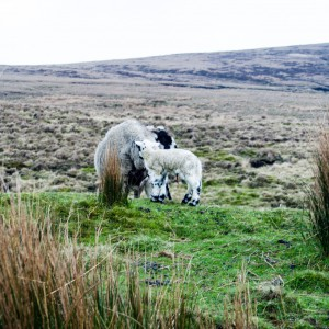 Sheep at Wessenden Head