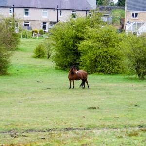 Horse in field, Slaithwaite