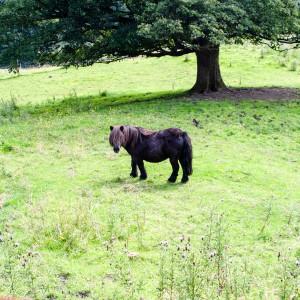 Shetland Pouny near Marsden